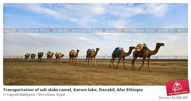 Купить «Transportation of salt slabs camel, Karum lake, Danakil, Afar Ethiopia», фото № 26606951, снято 3 января 2016 г. (c) Сергей Майоров / Фотобанк Лори