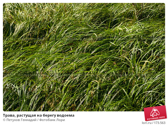 Трава, растущая на берегу водоема, фото № 173563, снято 4 сентября 2007 г. (c) Петухов Геннадий / Фотобанк Лори