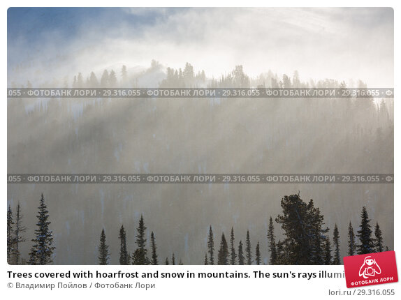 Купить «Trees covered with hoarfrost and snow in mountains. The sun's rays illuminate the trees.», фото № 29316055, снято 20 ноября 2018 г. (c) Владимир Пойлов / Фотобанк Лори