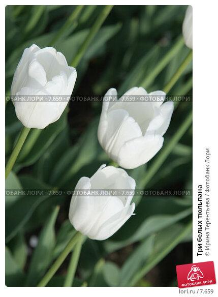 Три белых тюльпана, эксклюзивное фото № 7659, снято 1 июня 2006 г. (c) Ирина Терентьева / Фотобанк Лори