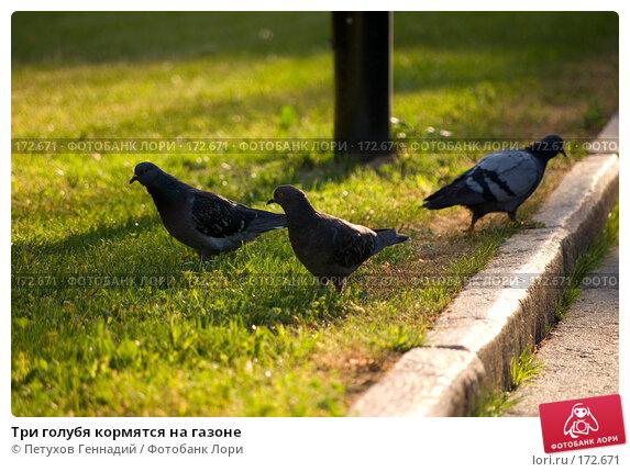 Три голубя кормятся на газоне, фото № 172671, снято 23 июня 2007 г. (c) Петухов Геннадий / Фотобанк Лори