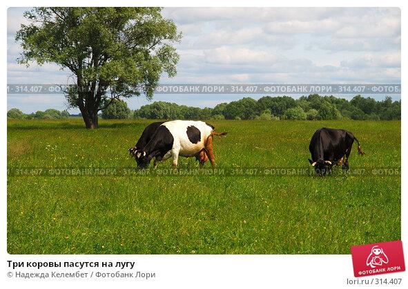 Три коровы пасутся на лугу, фото № 314407, снято 31 мая 2008 г. (c) Надежда Келембет / Фотобанк Лори