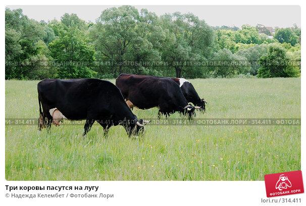 Три коровы пасутся на лугу, фото № 314411, снято 31 мая 2008 г. (c) Надежда Келембет / Фотобанк Лори