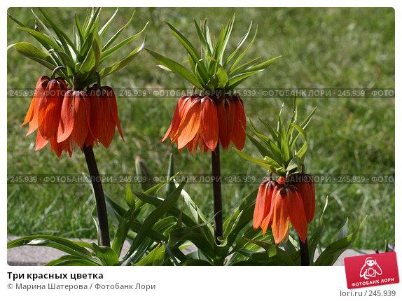 Купить «Три красных цветка», фото № 245939, снято 28 апреля 2007 г. (c) Марина Шатерова / Фотобанк Лори