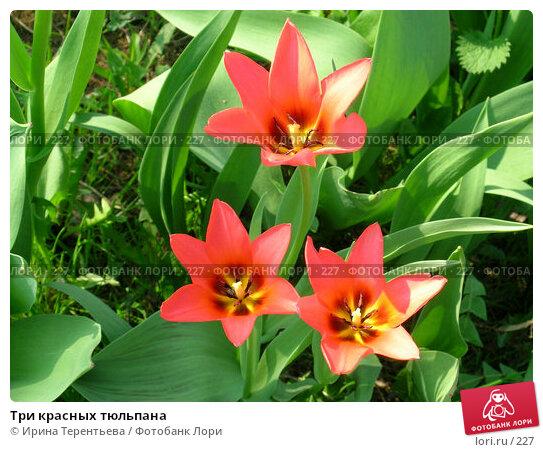 Три красных тюльпана, эксклюзивное фото № 227, снято 8 мая 2004 г. (c) Ирина Терентьева / Фотобанк Лори