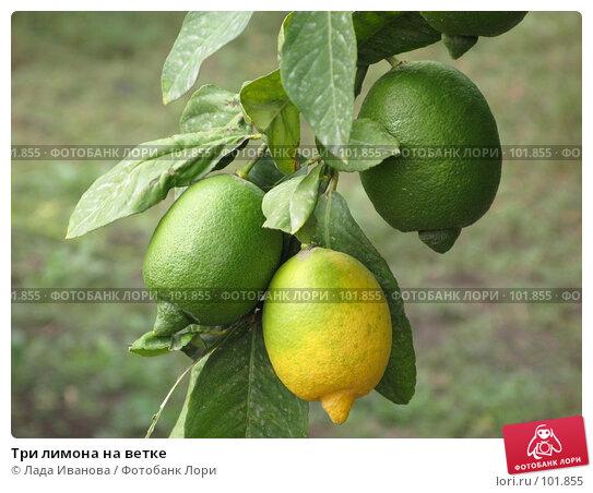 Три лимона на ветке, фото № 101855, снято 15 октября 2007 г. (c) Лада Иванова / Фотобанк Лори