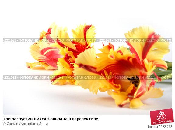 Купить «Три распустившихся тюльпана в перспективе», фото № 222263, снято 10 марта 2008 г. (c) Corwin / Фотобанк Лори