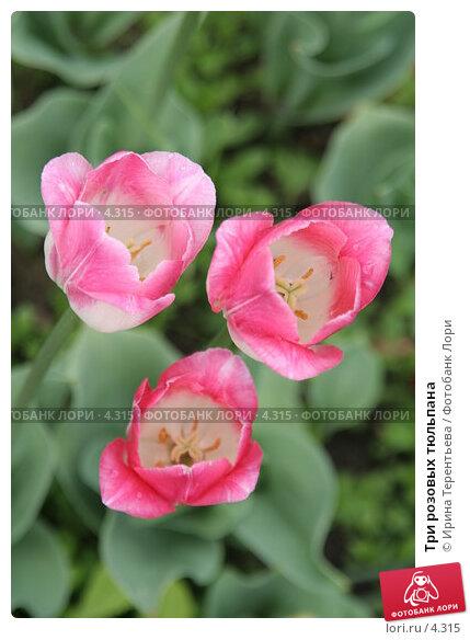 Купить «Три розовых тюльпана», эксклюзивное фото № 4315, снято 29 мая 2006 г. (c) Ирина Терентьева / Фотобанк Лори