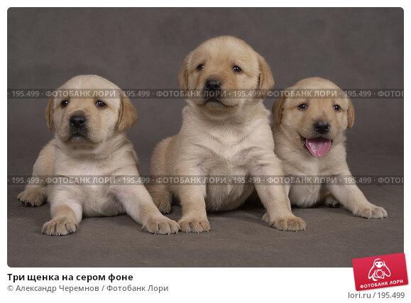 Три щенка на сером фоне, фото № 195499, снято 24 марта 2017 г. (c) Александр Черемнов / Фотобанк Лори