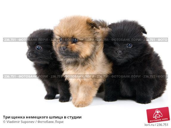 Три щенка немецкого шпица в студии, фото № 236751, снято 16 марта 2008 г. (c) Vladimir Suponev / Фотобанк Лори