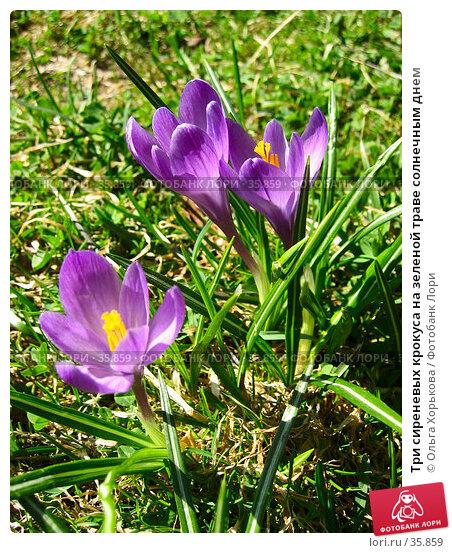 Три сиреневых крокуса на зеленой траве солнечным днем, фото № 35859, снято 7 мая 2006 г. (c) Ольга Хорькова / Фотобанк Лори
