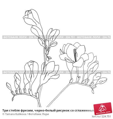 Три стебля фрезии, черно-белый рисунок со сглаженными линиями, иллюстрация № 224751 (c) Tamara Kulikova / Фотобанк Лори