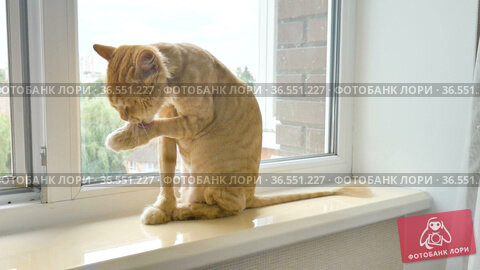 Trimmed cat with ginger fur is sitting on windowsill after grooming and trimming during summer, animal care concept. Стоковое видео, видеограф Ольга Балынская / Фотобанк Лори