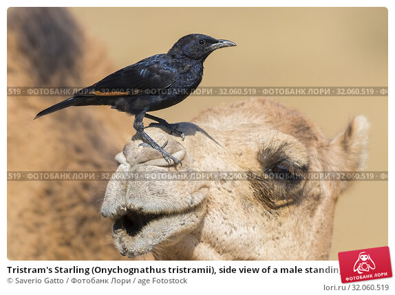 Tristram's Starling (Onychognathus tristramii), side view of a male standing on the head of a Dromedary Camel. Стоковое фото, фотограф Saverio Gatto / age Fotostock / Фотобанк Лори