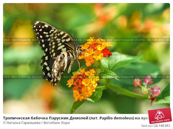 Купить «Тропическая бабочка Парусник Демолей (лат. Papilio demoleus) на ярком цветке лантаны (лат. Lantana)», фото № 24149951, снято 18 сентября 2012 г. (c) Наталья Гармашева / Фотобанк Лори