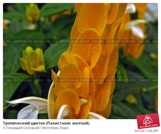 Купить «Тропический цветок (Пахистахис желтый)», фото № 126391, снято 5 июля 2007 г. (c) Геннадий Соловьев / Фотобанк Лори