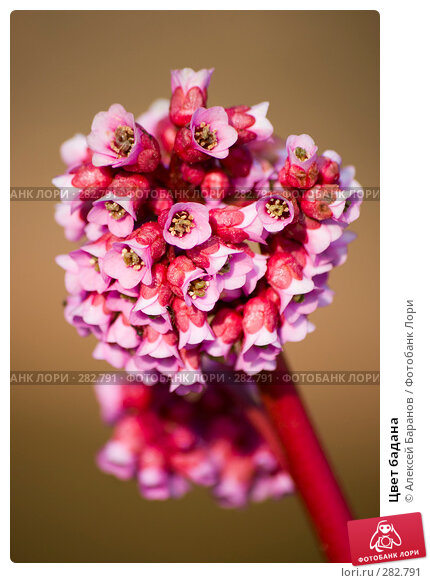 Купить «Цвет бадана», фото № 282791, снято 10 мая 2008 г. (c) Алексей Баранов / Фотобанк Лори