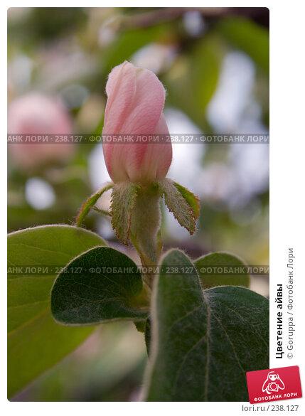 Цветение айвы, фото № 238127, снято 9 мая 2007 г. (c) Goruppa / Фотобанк Лори