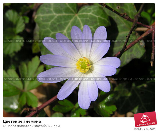 Цветение анемона, фото № 60503, снято 28 марта 2006 г. (c) Павел Филатов / Фотобанк Лори