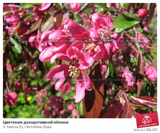 Цветение декоративной яблони, фото № 300707, снято 24 мая 2008 г. (c) Заноза-Ру / Фотобанк Лори