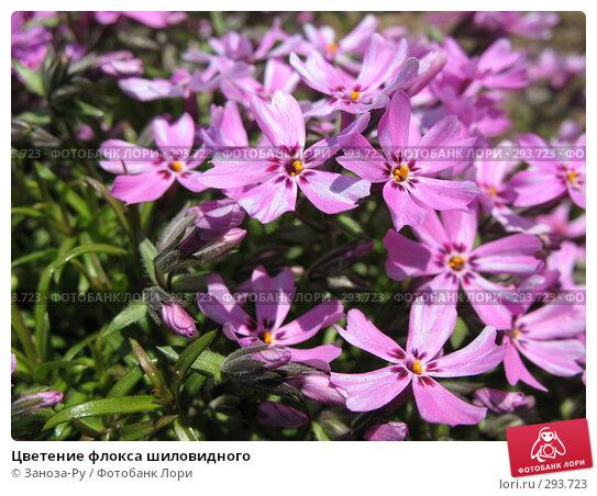 Цветение флокса шиловидного, фото № 293723, снято 17 мая 2008 г. (c) Заноза-Ру / Фотобанк Лори