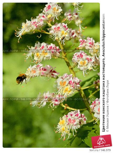 Цветение конского каштана настоящего, Aesculus hippocastanum, фото № 146979, снято 24 мая 2007 г. (c) Михаил Ушаков / Фотобанк Лори