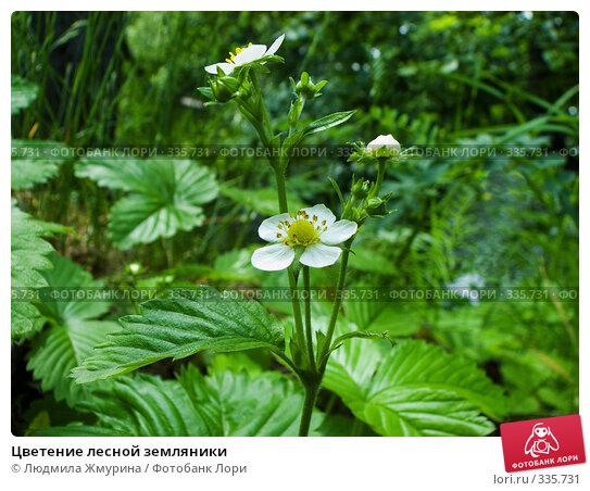 Цветение лесной земляники, фото № 335731, снято 14 мая 2008 г. (c) Людмила Жмурина / Фотобанк Лори