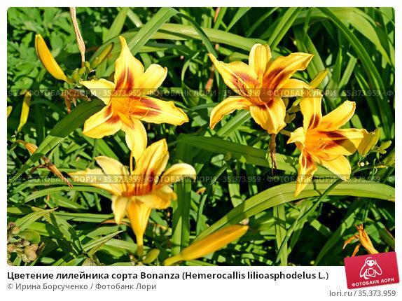 Цветение лилейника сорта Bonanza (Hemerocallis lilioasphodelus L.) Стоковое фото, фотограф Ирина Борсученко / Фотобанк Лори