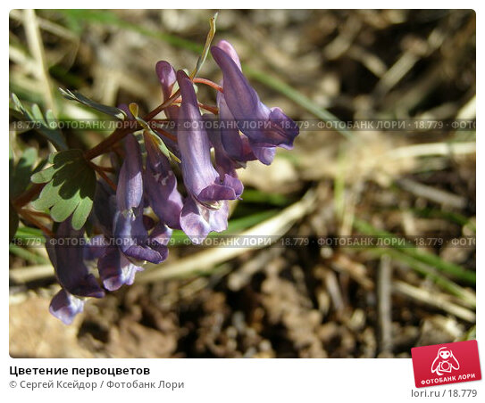 Цветение первоцветов, фото № 18779, снято 25 апреля 2006 г. (c) Сергей Ксейдор / Фотобанк Лори