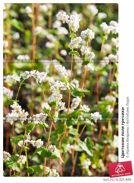 Купить «Цветение поля гречихи», фото № 6321899, снято 20 августа 2014 г. (c) Ирина Апарина / Фотобанк Лори