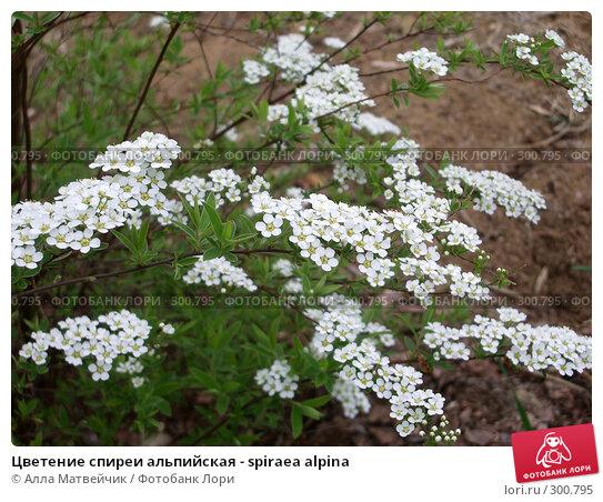 Цветение спиреи альпийская - spiraea alpina, фото № 300795, снято 4 июня 2006 г. (c) Алла Матвейчик / Фотобанк Лори