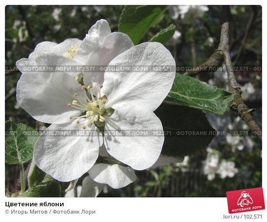 Цветение яблони, фото № 102571, снято 25 марта 2017 г. (c) Игорь Митов / Фотобанк Лори