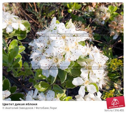 Цветет дикая яблоня, фото № 316455, снято 5 мая 2005 г. (c) Анатолий Заводсков / Фотобанк Лори