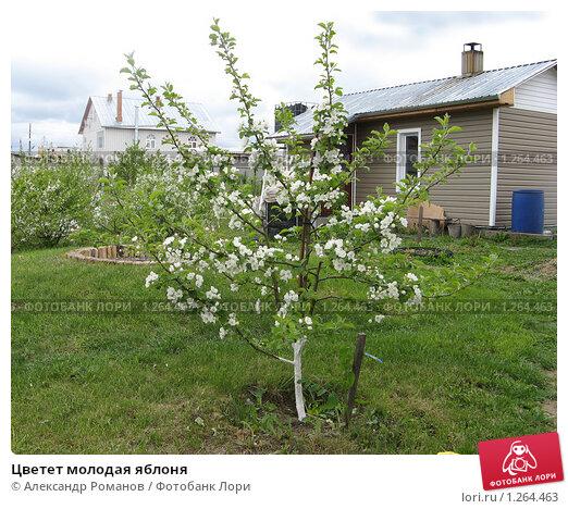Цве�е� молодая яблоня К�пи�� �о�о � 1264463 Фо�ог�а�