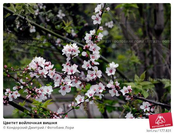 Цветет войлочная вишня, фото № 177831, снято 1 мая 2007 г. (c) Кондорский Дмитрий / Фотобанк Лори