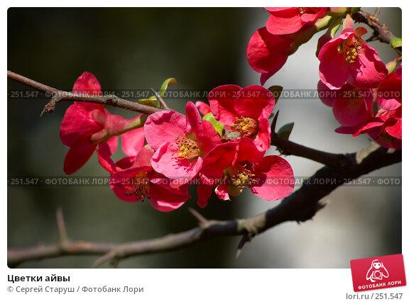 Цветки айвы, фото № 251547, снято 13 апреля 2008 г. (c) Сергей Старуш / Фотобанк Лори
