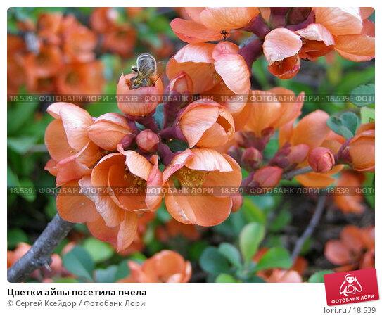 Цветки айвы посетила пчела, фото № 18539, снято 27 мая 2006 г. (c) Сергей Ксейдор / Фотобанк Лори