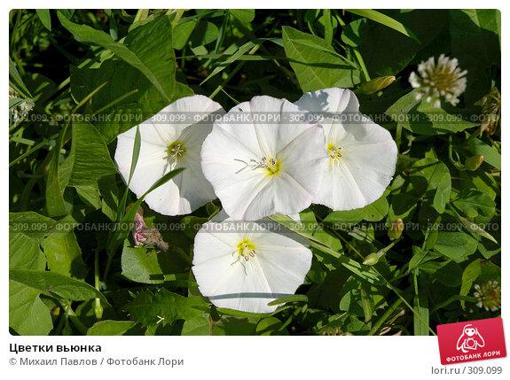 Цветки вьюнка, фото № 309099, снято 8 июля 2007 г. (c) Михаил Павлов / Фотобанк Лори