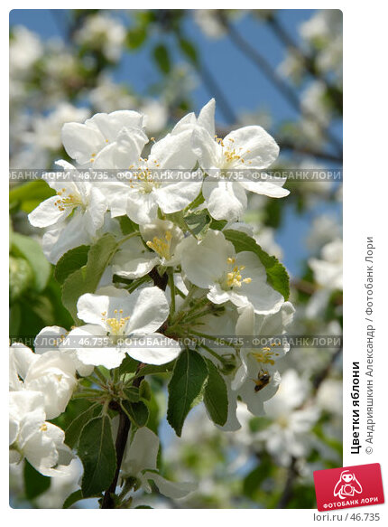 Цветки яблони, фото № 46735, снято 23 мая 2007 г. (c) Андрияшкин Александр / Фотобанк Лори