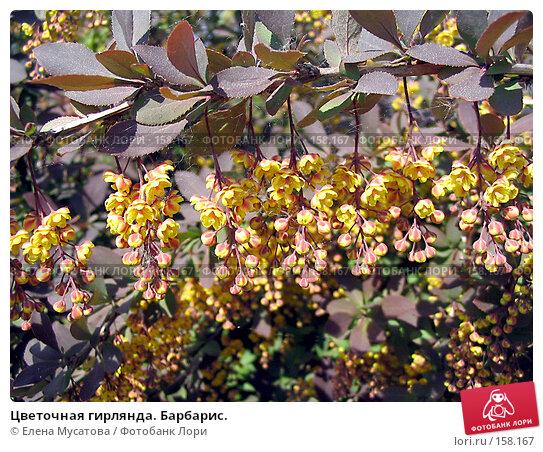 Цветочная гирлянда. Барбарис., фото № 158167, снято 27 мая 2005 г. (c) Елена Мусатова / Фотобанк Лори