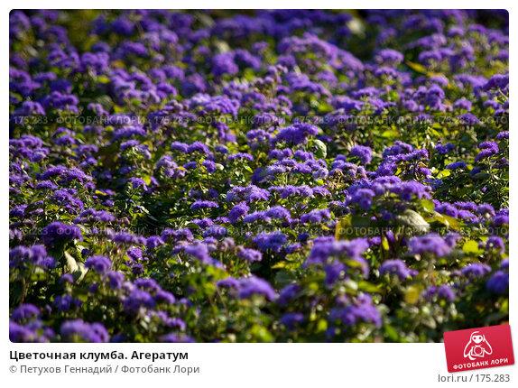 Цветочная клумба. Агератум, фото № 175283, снято 23 июня 2007 г. (c) Петухов Геннадий / Фотобанк Лори