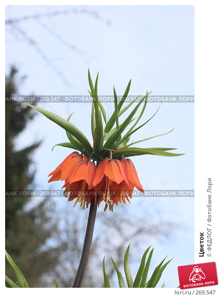Цветок, фото № 269547, снято 1 мая 2008 г. (c) ФЕДЛОГ.РФ / Фотобанк Лори