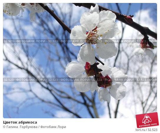 Купить «Цветок абрикоса», фото № 32523, снято 11 апреля 2006 г. (c) Галина  Горбунова / Фотобанк Лори