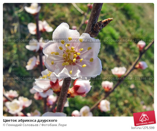 Цветок абрикоса даурского, фото № 275599, снято 6 мая 2008 г. (c) Геннадий Соловьев / Фотобанк Лори