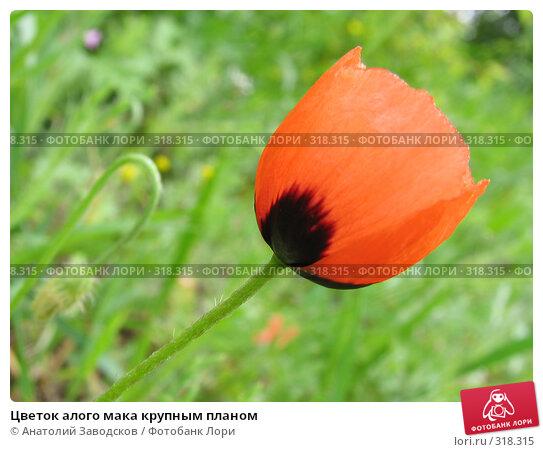 Цветок алого мака крупным планом, фото № 318315, снято 10 мая 2006 г. (c) Анатолий Заводсков / Фотобанк Лори