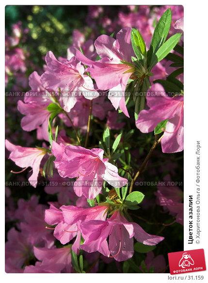 Цветок азалии, фото № 31159, снято 1 апреля 2007 г. (c) Харитонова Ольга / Фотобанк Лори
