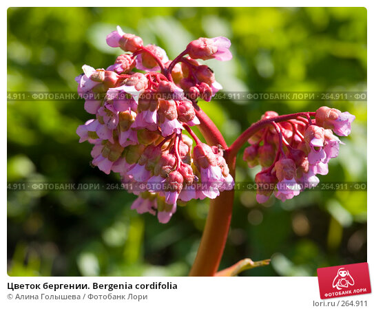 Цветок бергении. Вergenia cordifolia, эксклюзивное фото № 264911, снято 27 апреля 2008 г. (c) Алина Голышева / Фотобанк Лори