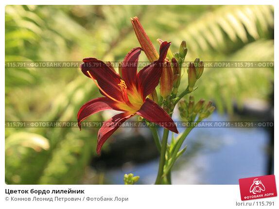 Купить «Цветок бордо лилейник», фото № 115791, снято 15 июля 2007 г. (c) Коннов Леонид Петрович / Фотобанк Лори