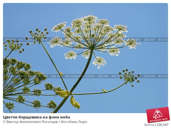 Купить «Цветок борщевика на фоне неба», фото № 238947, снято 19 июля 2007 г. (c) Виктор Филиппович Погонцев / Фотобанк Лори