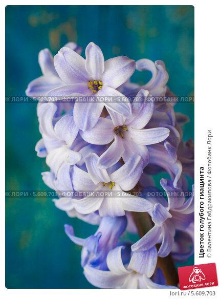Купить «Цветок голубого гиацинта», фото № 5609703, снято 14 февраля 2014 г. (c) Валентина Габдракипова / Фотобанк Лори